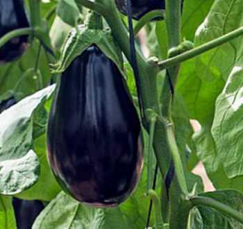 Bonica F1 (aubergine)