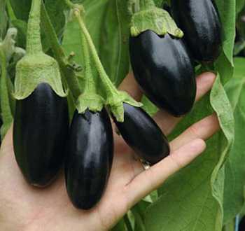 Picola F1 (aubergine)